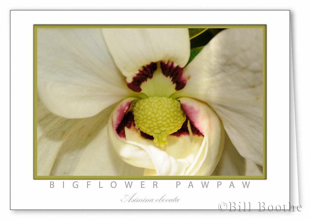 Bigflower Pawpaw