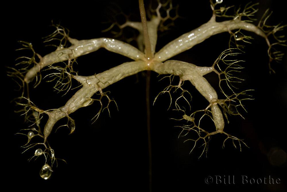 Little Floating Bladderwort