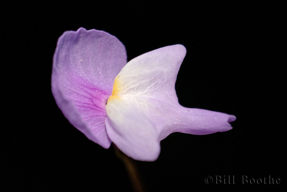 Purple Bladderwort