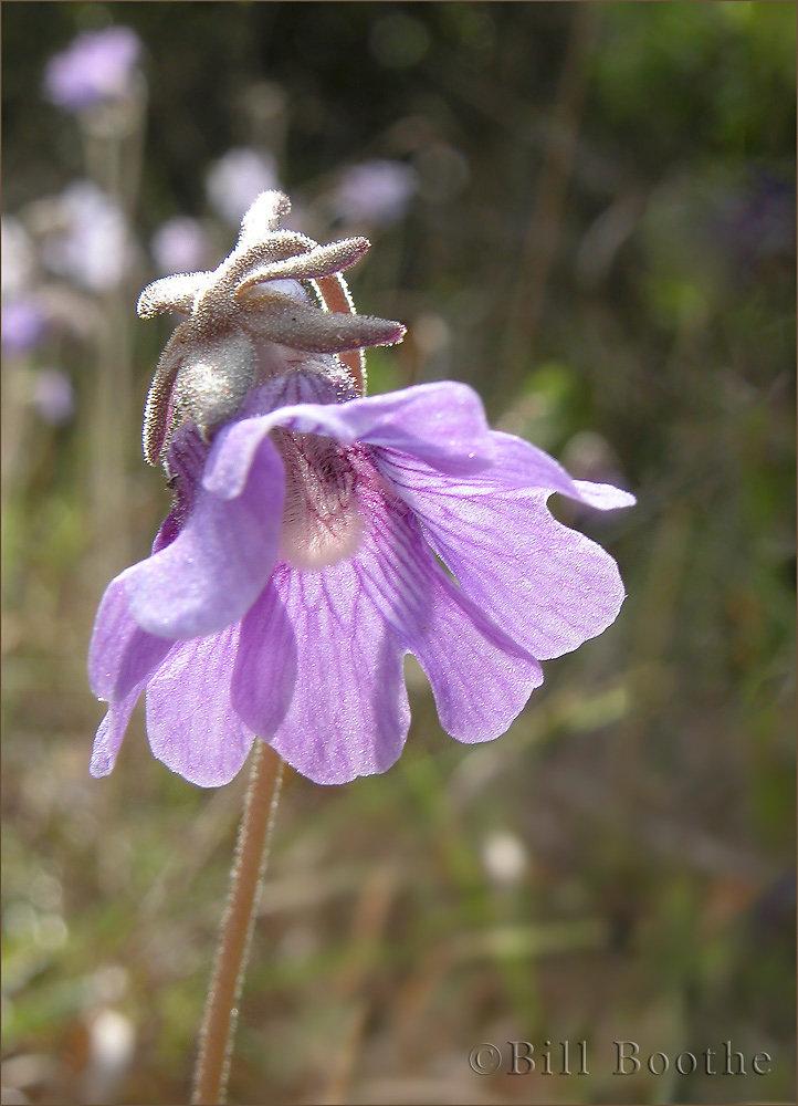 Blueflower Butterwort