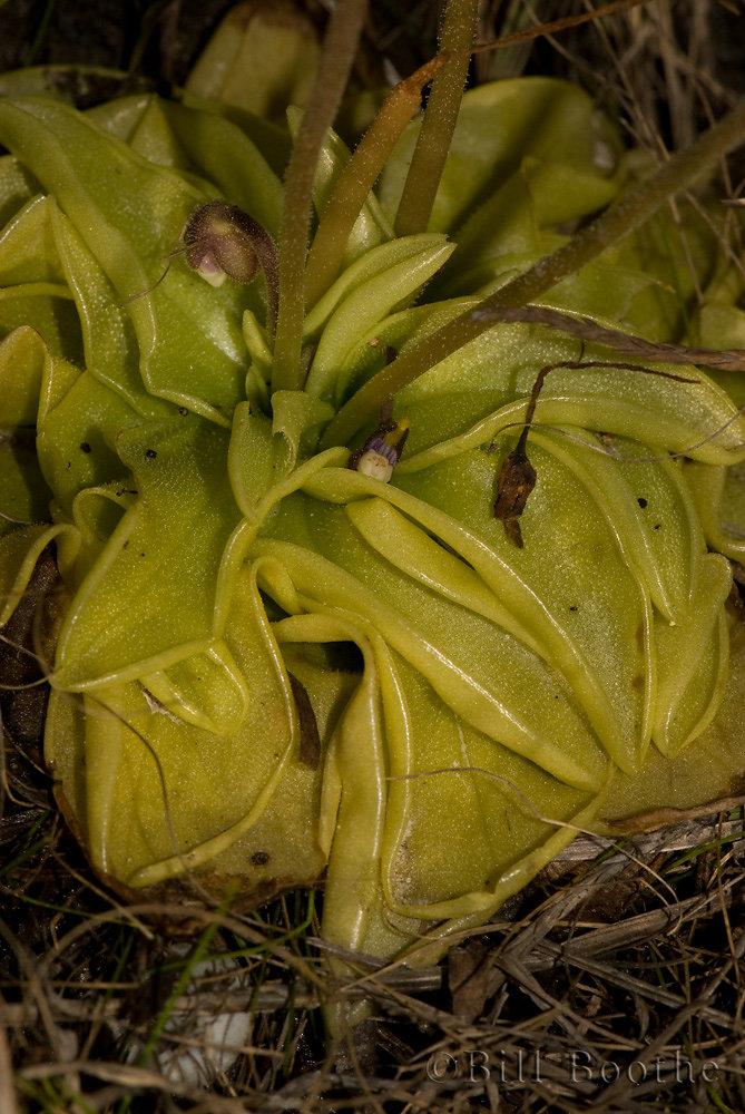 Panhandle Butterwort