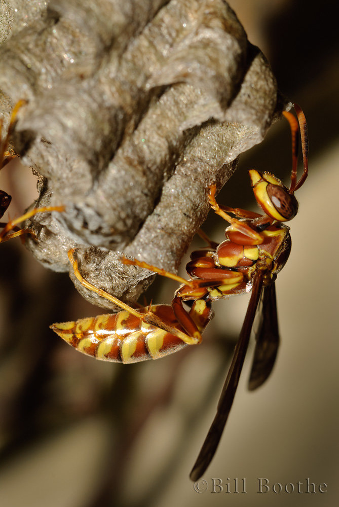 Paper Wasp at Nest