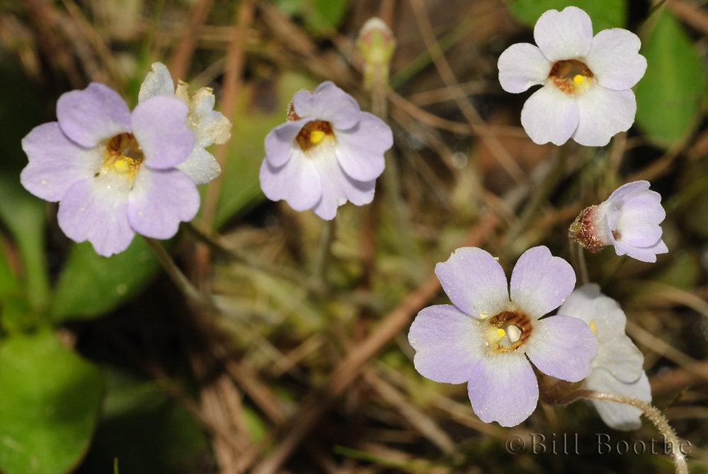 Small butterwort